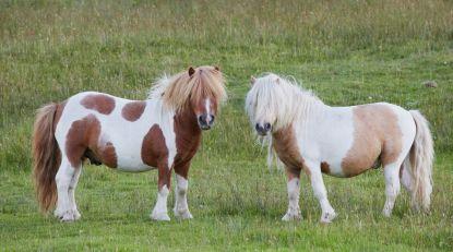 Ponnies